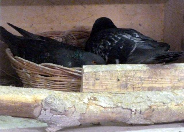 Laura und Max - ein Taubenliebespaar - kl.