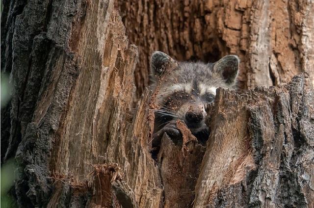 Waschbär im Baum - kl.