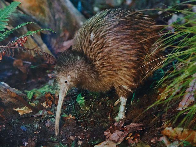 kiwi-in-neuseeland